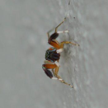 Siler semiglaucus (Metallic Jumper)