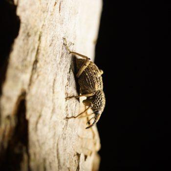 Sipalinus gigas (Japanese Giant Weevil)