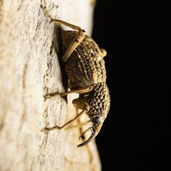 Dryophthorinae