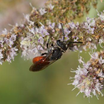 Sphecodes albilabris (Große Blutbiene)
