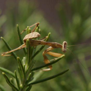 Sphodromantis viridis (Afrikanische Riesengottesanbeterin)