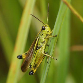 Stethophyma grossum (Sumpfschrecke)