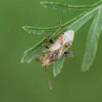 Stictopleurus punctatonervosus (Punktierte Porenwanze)