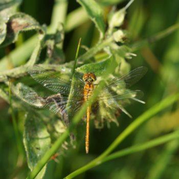 Sympetrum sanguineum (Blutrote Heidelibelle)