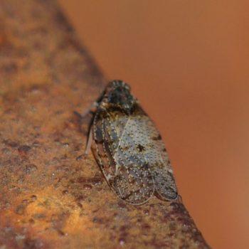 Tachycixius pilosus (Pelz-Glasflügelzikade)