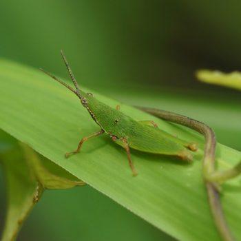Tagasta indica (Kegelkopfschrecke) - Thailand