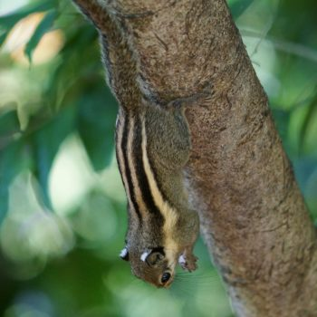 Tamiops macclellandi (Himalaya-Streifenhörnchen) - Thailand