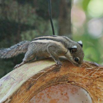 Tamiops macclellandii (Himalaya-Streifenhörnchen)