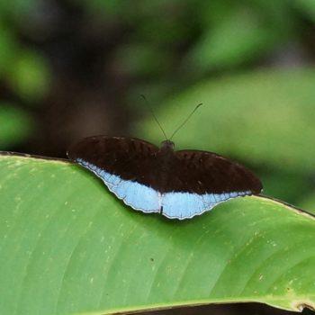 Tanaecia flora andersonii (Blue Count)