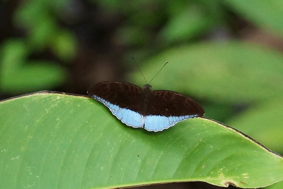 <i>Tanaecia flora andersonii</i> (Blue Count)