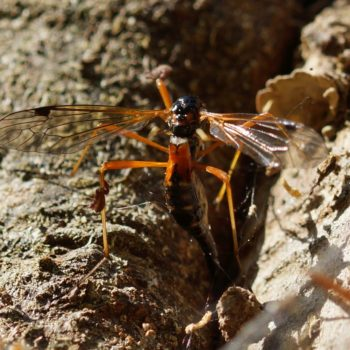 Tanyptera atrata (Schwarze Kammschnake)
