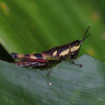 Tauchira polychroa (Grashüpfer) - Thailand