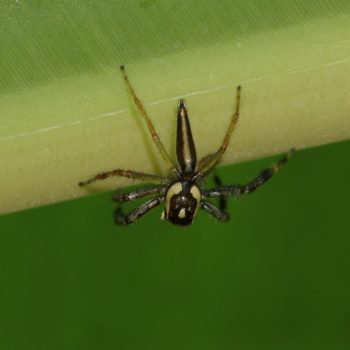 Telamonia dimidiata (Two-striped Jumping Spider) - Thailand