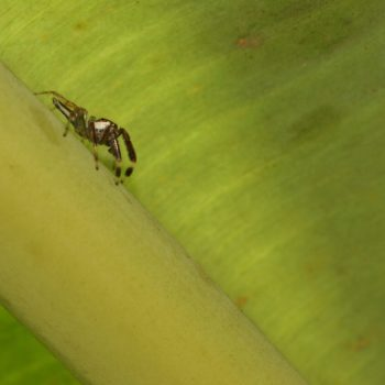 Telamonia dimidiata (Two-striped Jumping Spider)