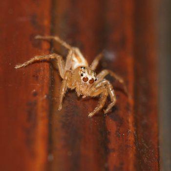 Telamonia festiva (Jolly Telamonia Spider)