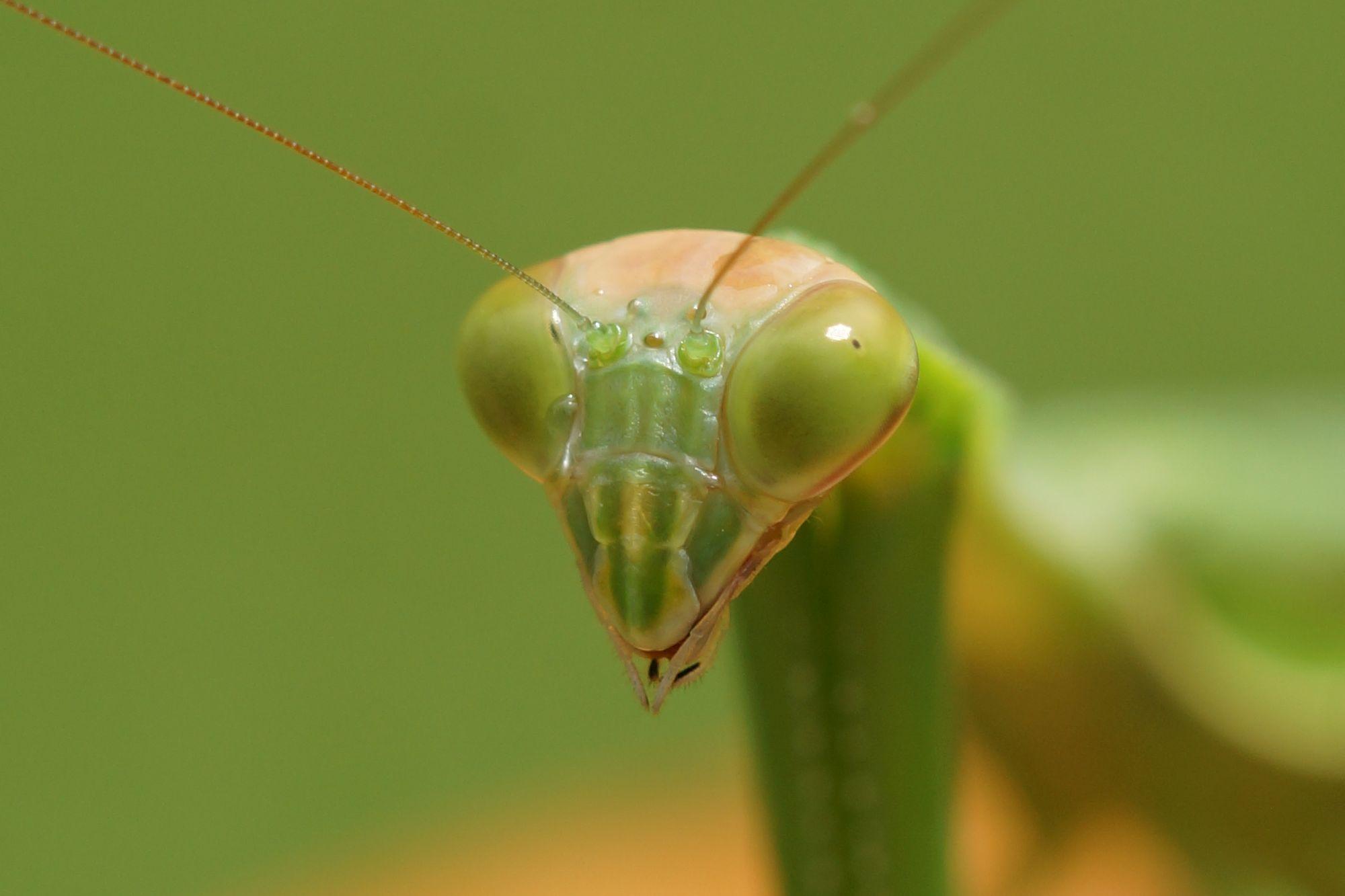 <i>Tenodera sinensis</i> (Große Chinesen-Mantis)