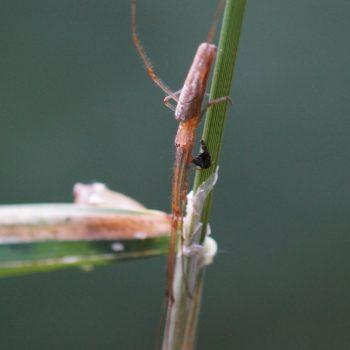 Tetragnatha montana (Bergstreckerspinne)