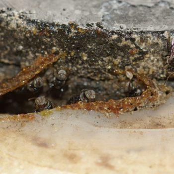 Tetragonula sp. (Stachellose Biene)