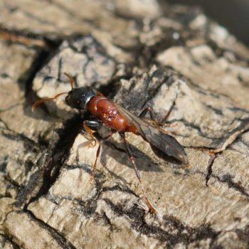 Tetraponera rufonigra (Bicolored Arboreal Ant)