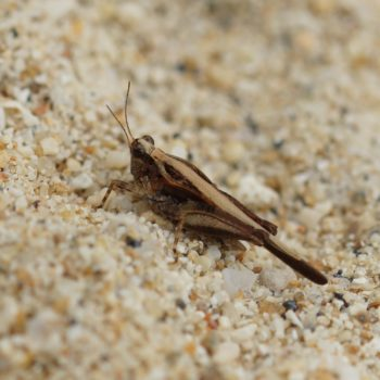 Tetrigidae sp. (Dornschrecke) - Thailand
