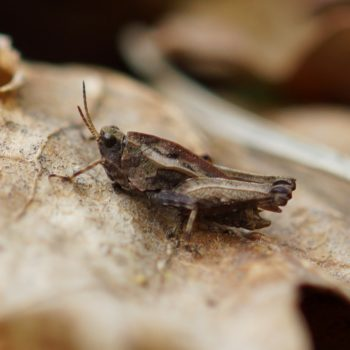 Tetrix subulata (Säbel-Dornschrecke)