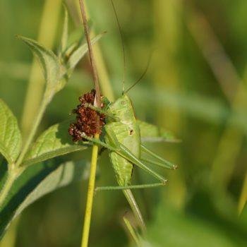 Tettigonia viridissima (Grünes Heupferd)