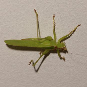 Tettigoniidae sp. (Laubheuschrecke) - Thailand