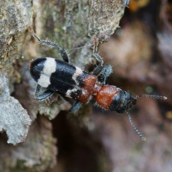 Thanasimus formicarius (Ameisenbuntkäfer)