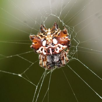 Thelacantha brevispina (Double Spotted Spiny Spider) - Thailand