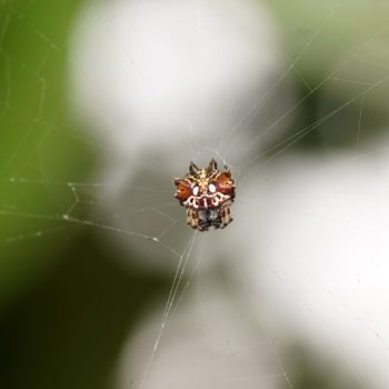 Thelacantha brevispina (Double Spotted Spiny Spider)