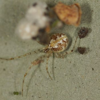 Theridion varians (Kugelspinne)