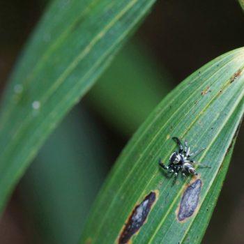 Thiania bhamoensis (Springspinne)