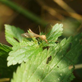 Tipula lunata (Schnake)