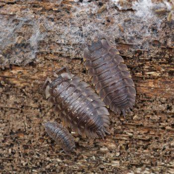 Isopoda (Asseln)