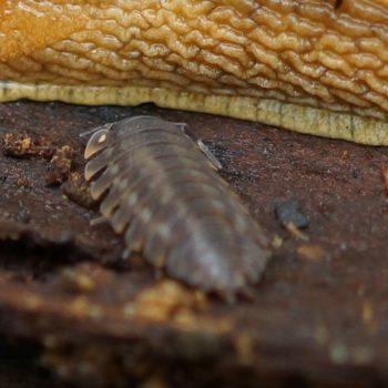 Trachelipus ratzeburgii