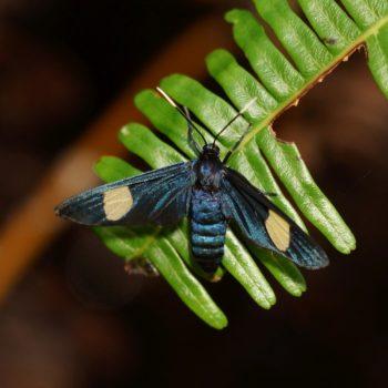 Trichaetoides apicalis - Thailand