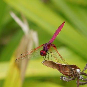 Trithemis aurora (Crimson Marsh Glider)