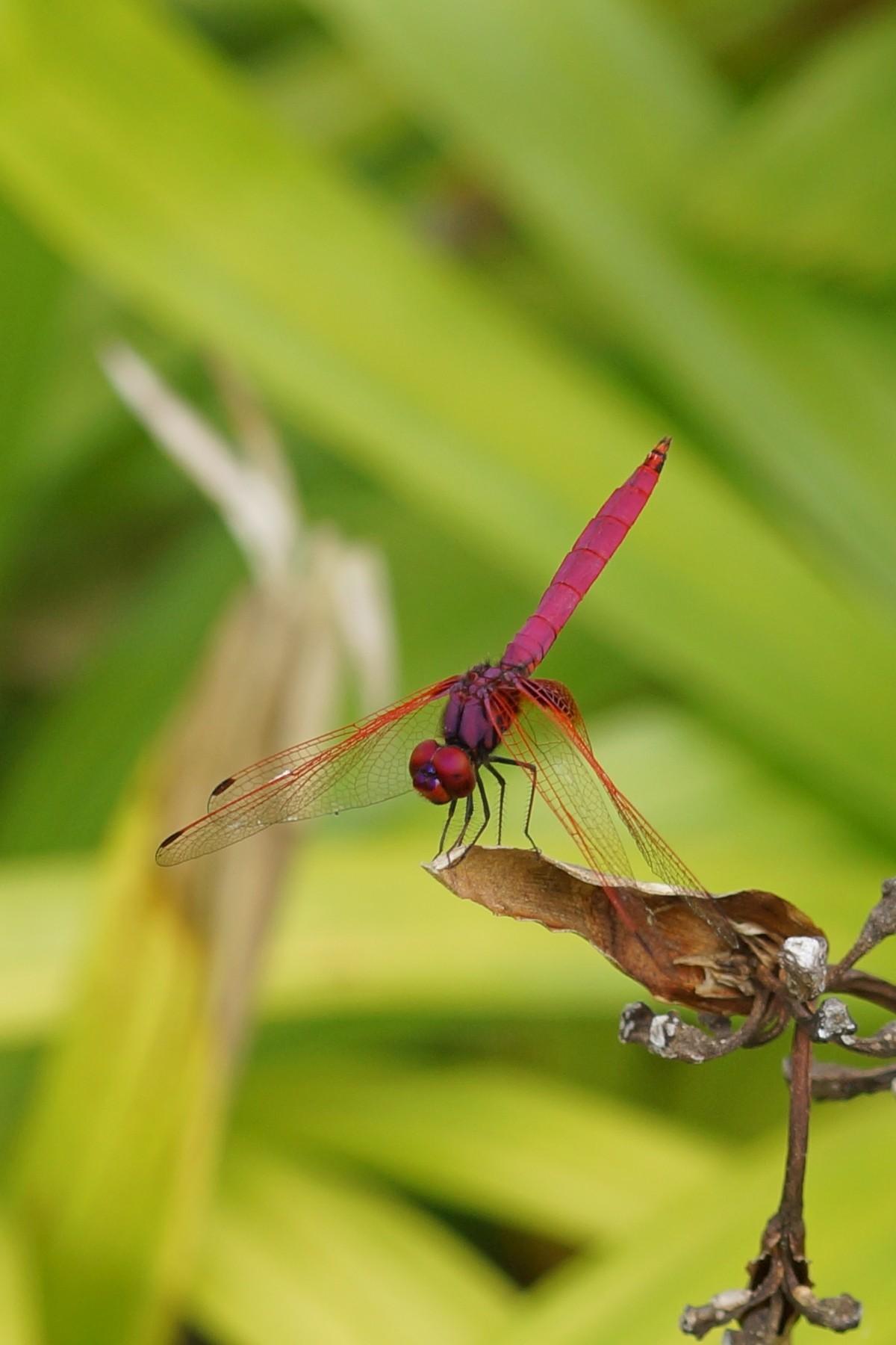 <i>Trithemis aurora</i> (Crimson Marsh Glider)