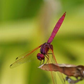 Odonata (Libellen) - Thailand 2017
