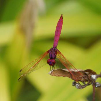 Trithemis aurora (Crimson Marsh Glider) - Thailand