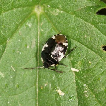 Tritomegas bicolor (Schwarzweiße Erdwanze)