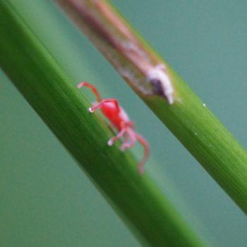 Trombidiidae sp. (Samtmilbe)