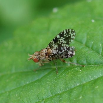 Trypetoptera punctulata (Gepunktete Hornfliege)