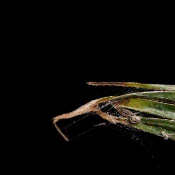 Uloborus sp. (Federfußspinne)