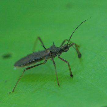 Valentia compressipes (Termite-feeding Assassin Bug) - Thailand
