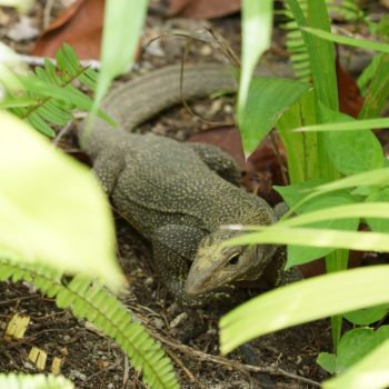 Varanus nebulosus (Nebelwaran)