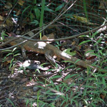 Varanus salvator (Bindenwaran) - Thailand