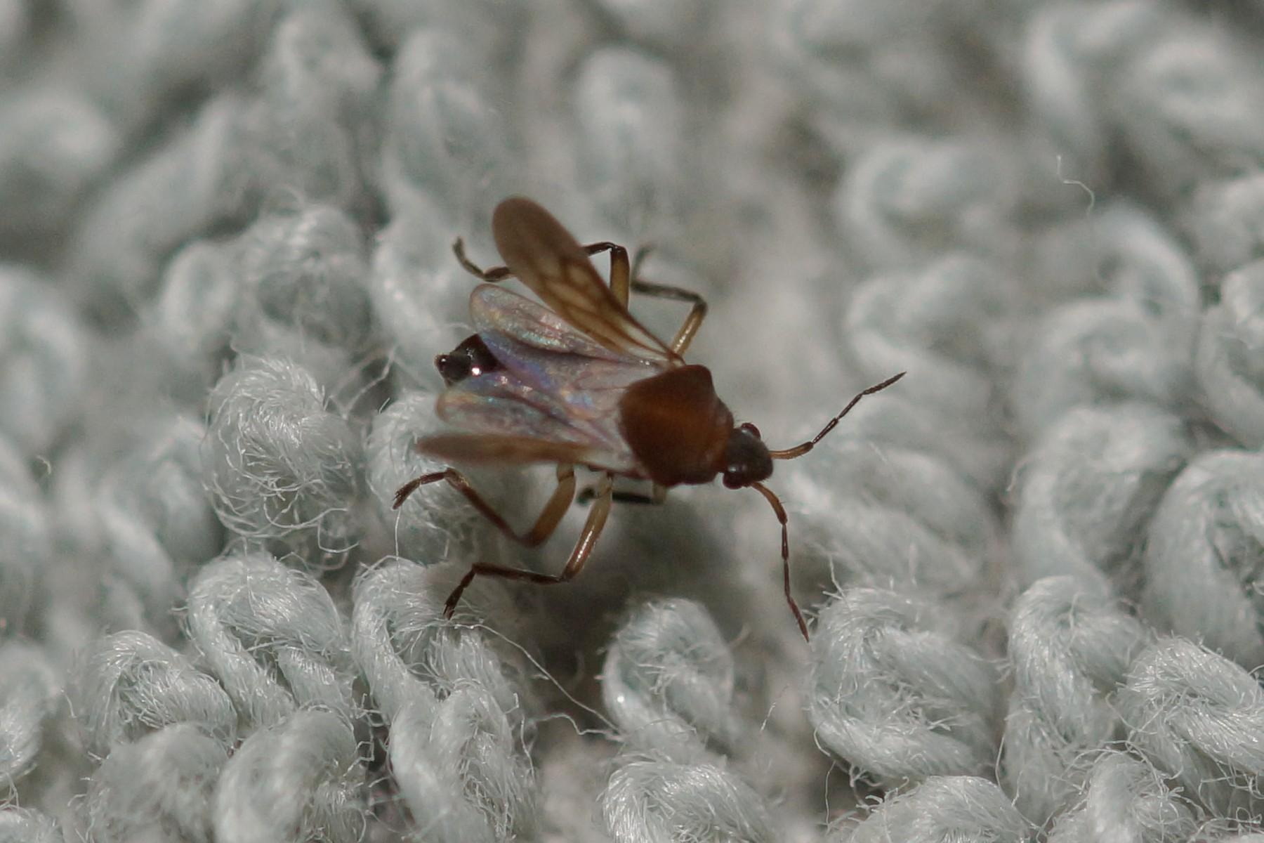 Veliidae sp. (Smaller Water Strider)