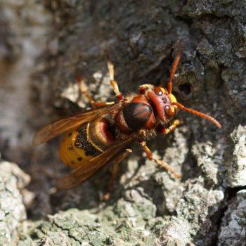Vespinae (Echte Wespen)