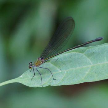 Vestalis anne (Prachtlibelle) - Thailand